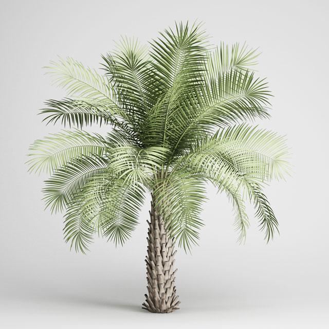 Butia-Yatay-Palm
