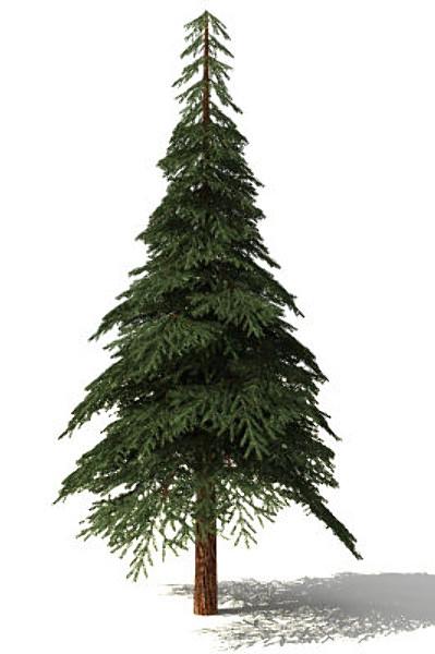firtree1