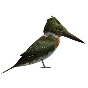 Amazon-Kingfisher-Male