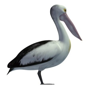 Australian-Pelican
