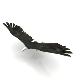 Bird-prey-Eagle