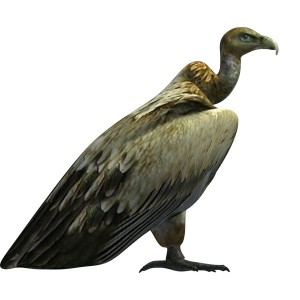 Golden-Vulture