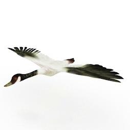 Goose-Migrant-bird