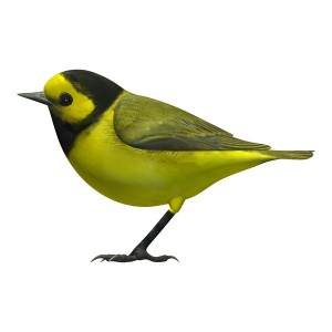 Hooded-Warbler-Male