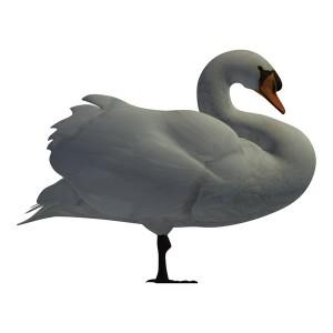 Mute-Swan-Male