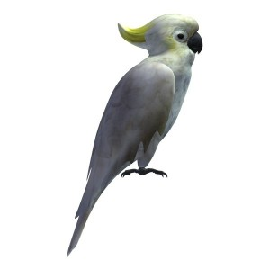 Umbrella-Cockatoo-Adult