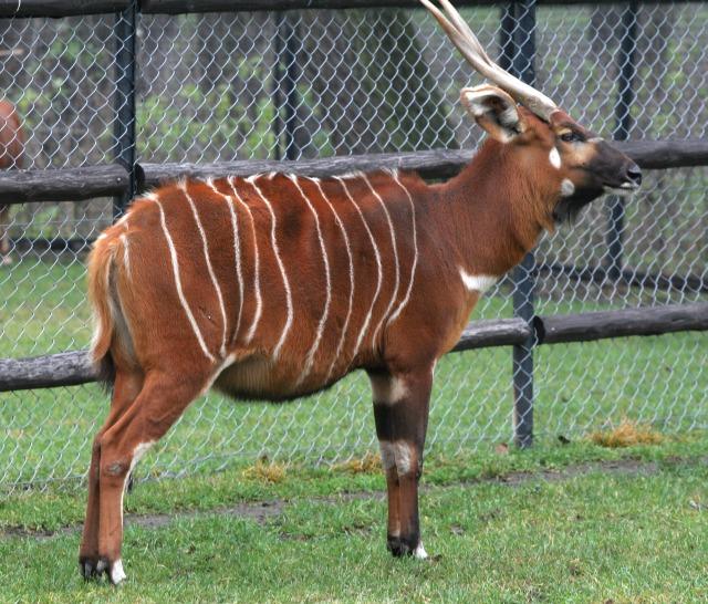 free Antelope texture