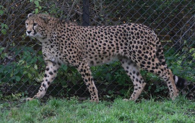 free Cheetah texture
