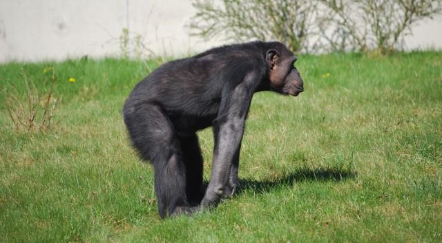 free-Chimpanzee-texture