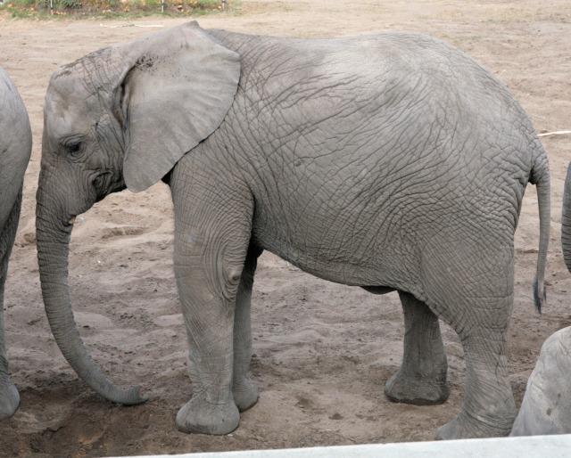free Elephant texture