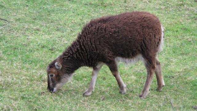 free Goat texture