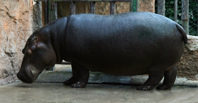 free Hippo texture