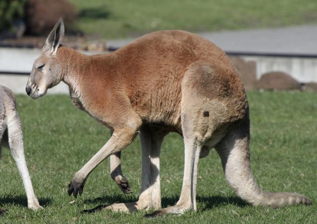 free Kangaroo texture