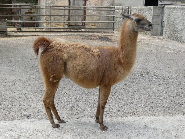 free Lama texture