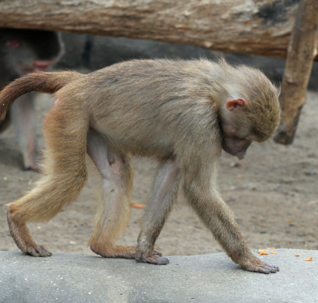 free Monkey texture