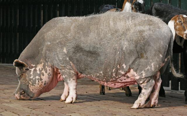 free Pig texture