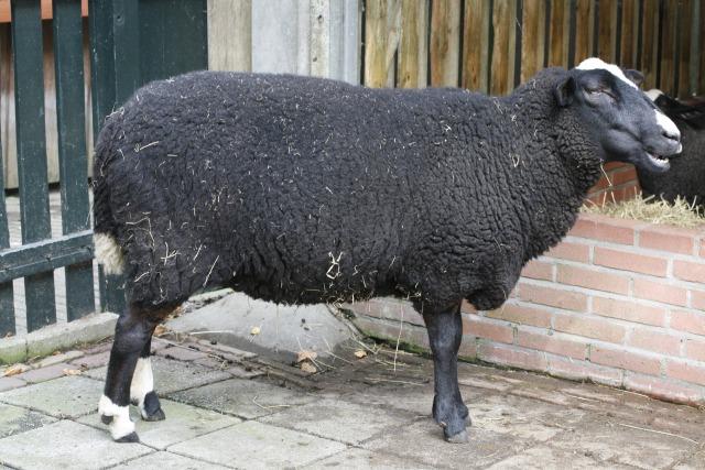 free Sheep texture