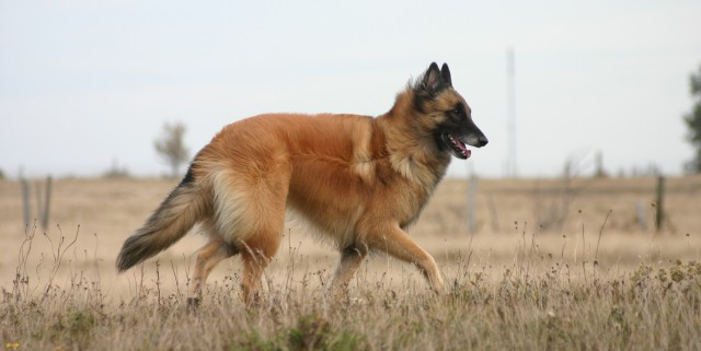 free-dog-texture