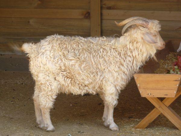 free sheep ram texture