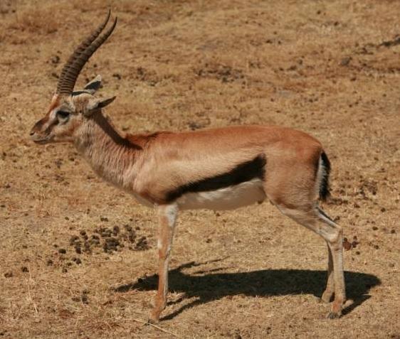 free texture antilope