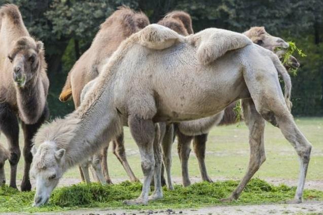 free texture camel