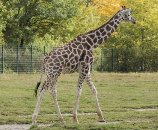 free texture giraffe