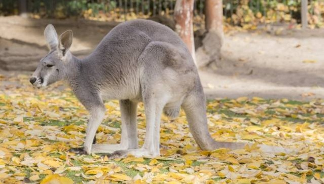 free texture kangaroo