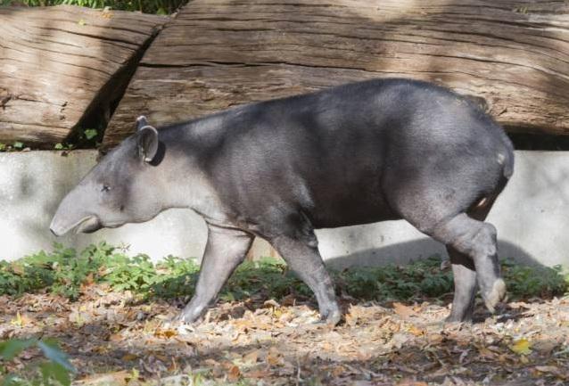 free texture tapir