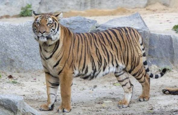 free texture tiger
