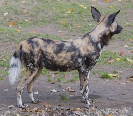 free texture wild dog