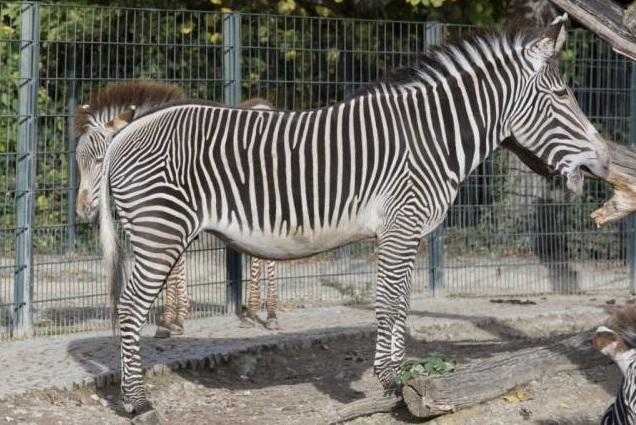 free texture zebra