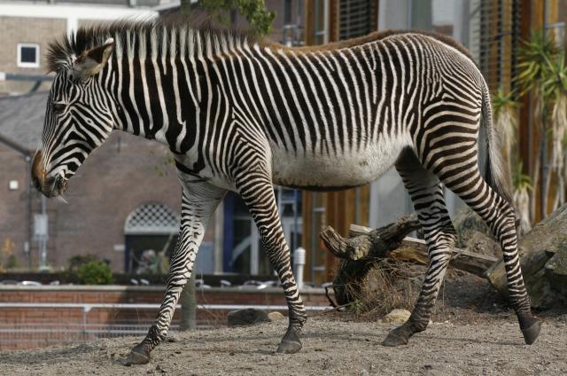 free zebra texture