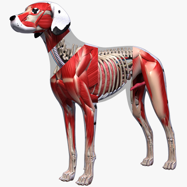 Dog-Anatomy-Textured-3d-model