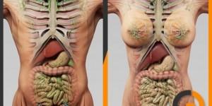 Human-Male-Female-Anatomy-3d-model
