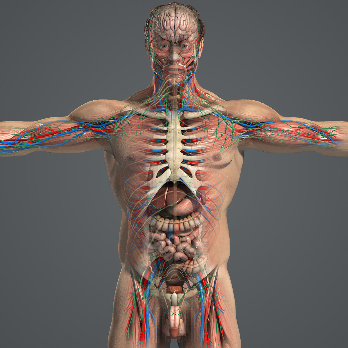 Male-Anatomy-Pack-Complete-Textured-3d-model