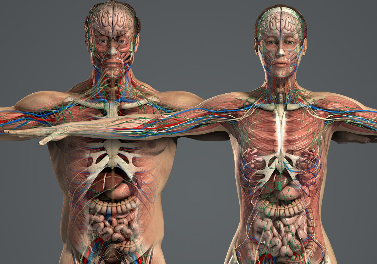 Male Female Anatomy Textured 3d Model Rockthe3d